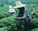 Donne africane e coltivazioni_P.jpg